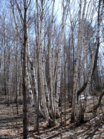 Birch Trees Two