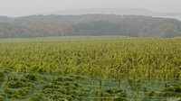 Grape Fields 2